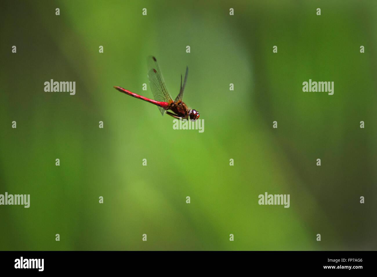 Ruby meadowhawk vol libellule sur fond vert. Banque D'Images