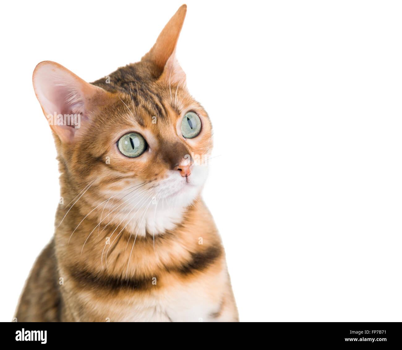Jeune femelle Bengal chat close up face portrait isolé sur fond blanc Modèle Libération: N° Photo Stock
