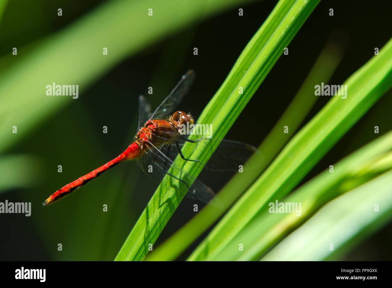 Ruby meadowhawk libellule Sympetrum (rubicondulum) libre sur l'herbe Banque D'Images