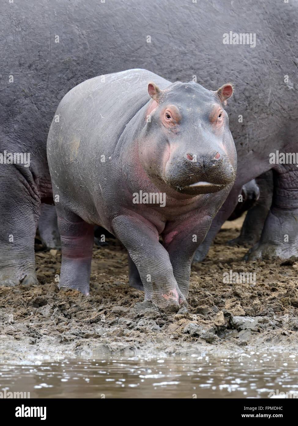 Famille Hippopotame (Hippopotamus amphibius) hors de l'eau. Le Kenya, l'Afrique Photo Stock