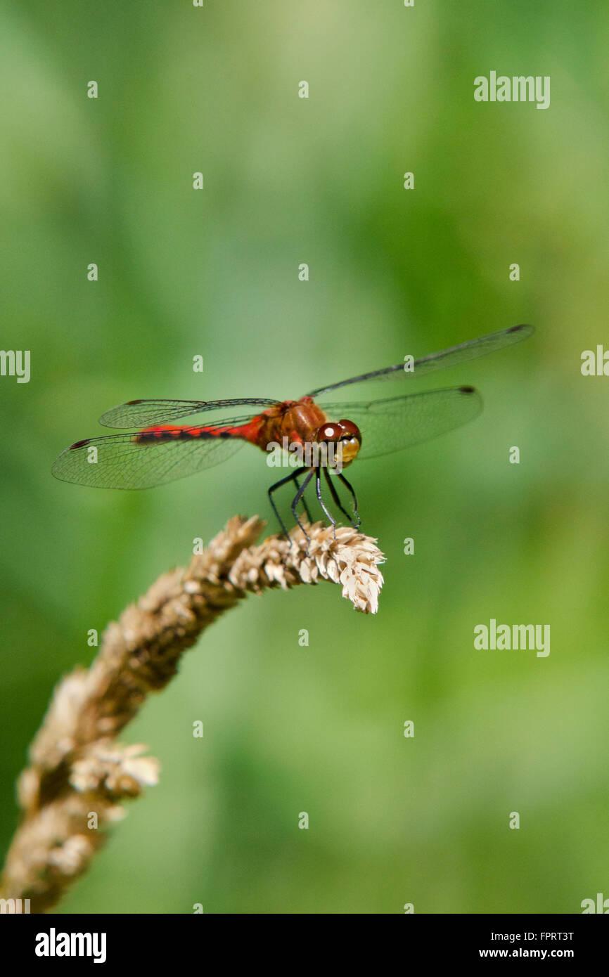 Libellule Meadowhawk sur herbe sèche. Banque D'Images