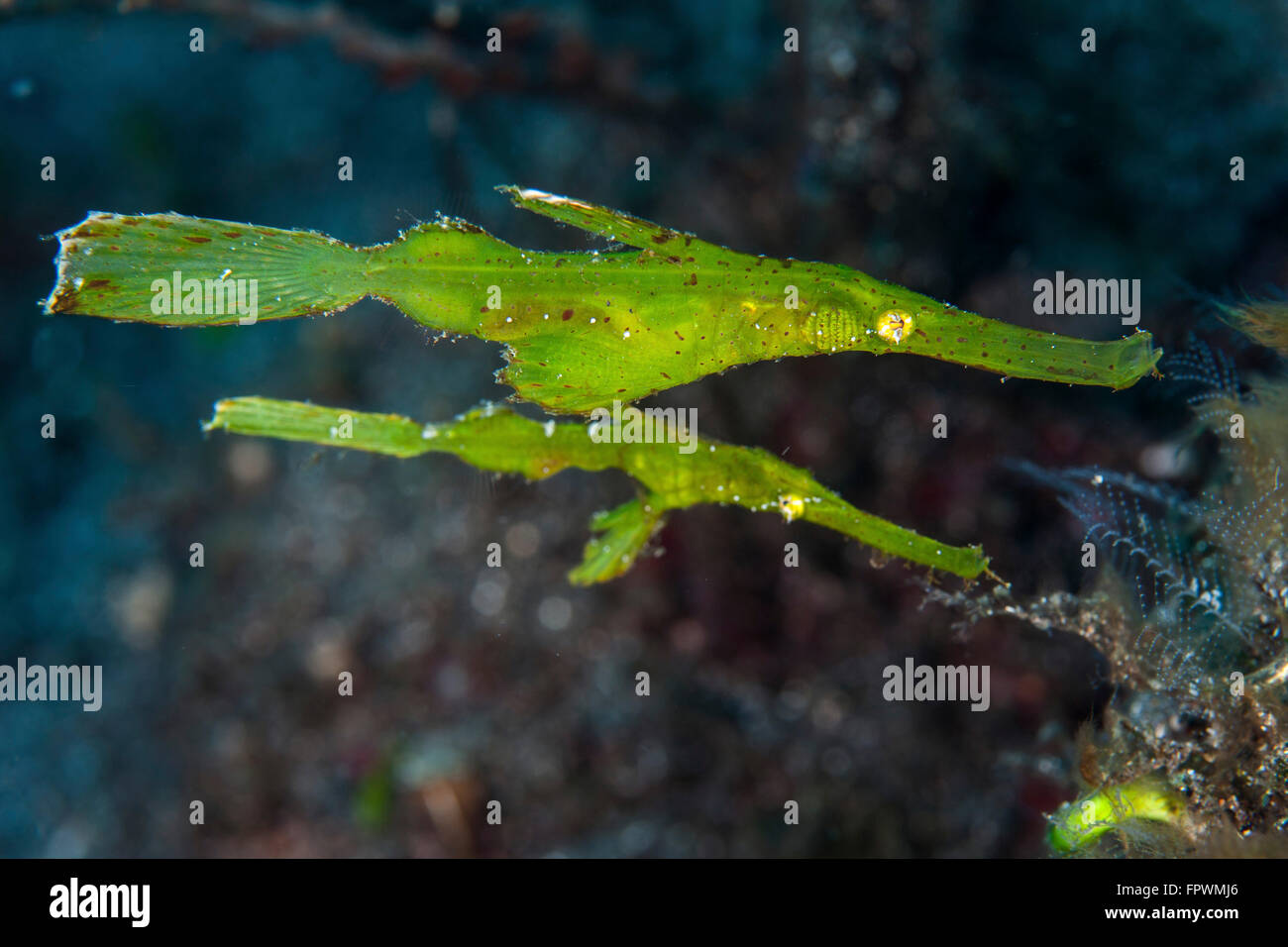 Une paire de syngnathes ghost robuste (Solenostomus cyanopterus) vol stationnaire au-dessus du fond marin dans le Photo Stock