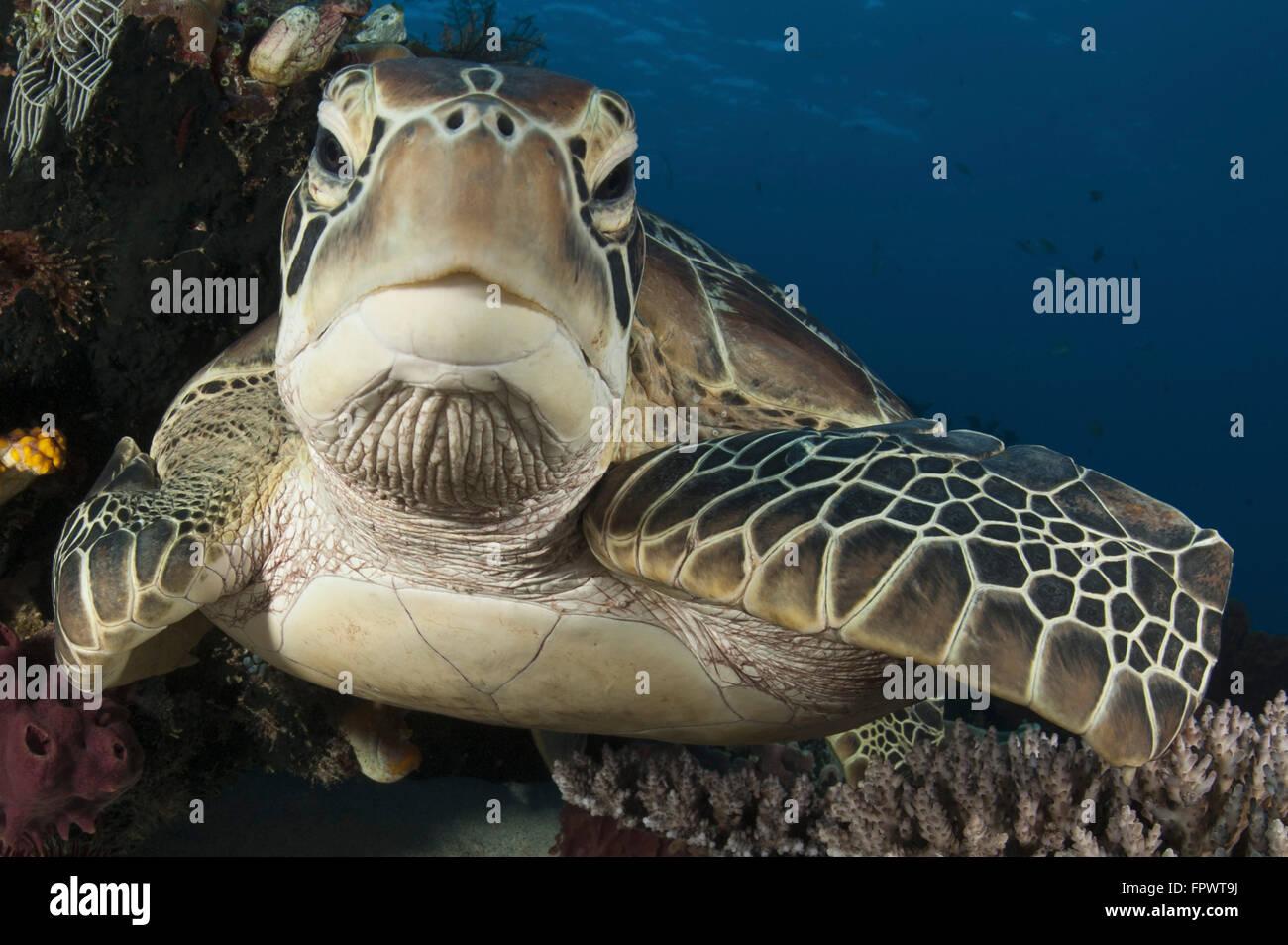 Vue rapprochée d'une tortue verte (Chelonia mydas) reposant sur un récif haut dans le Parc National Photo Stock