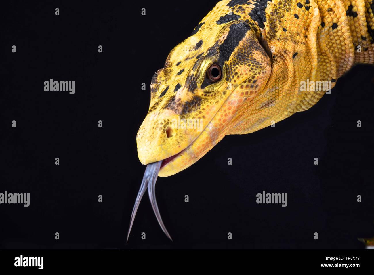 Contrôle de l'eau des Philippines (Varanus cumingi) Photo Stock