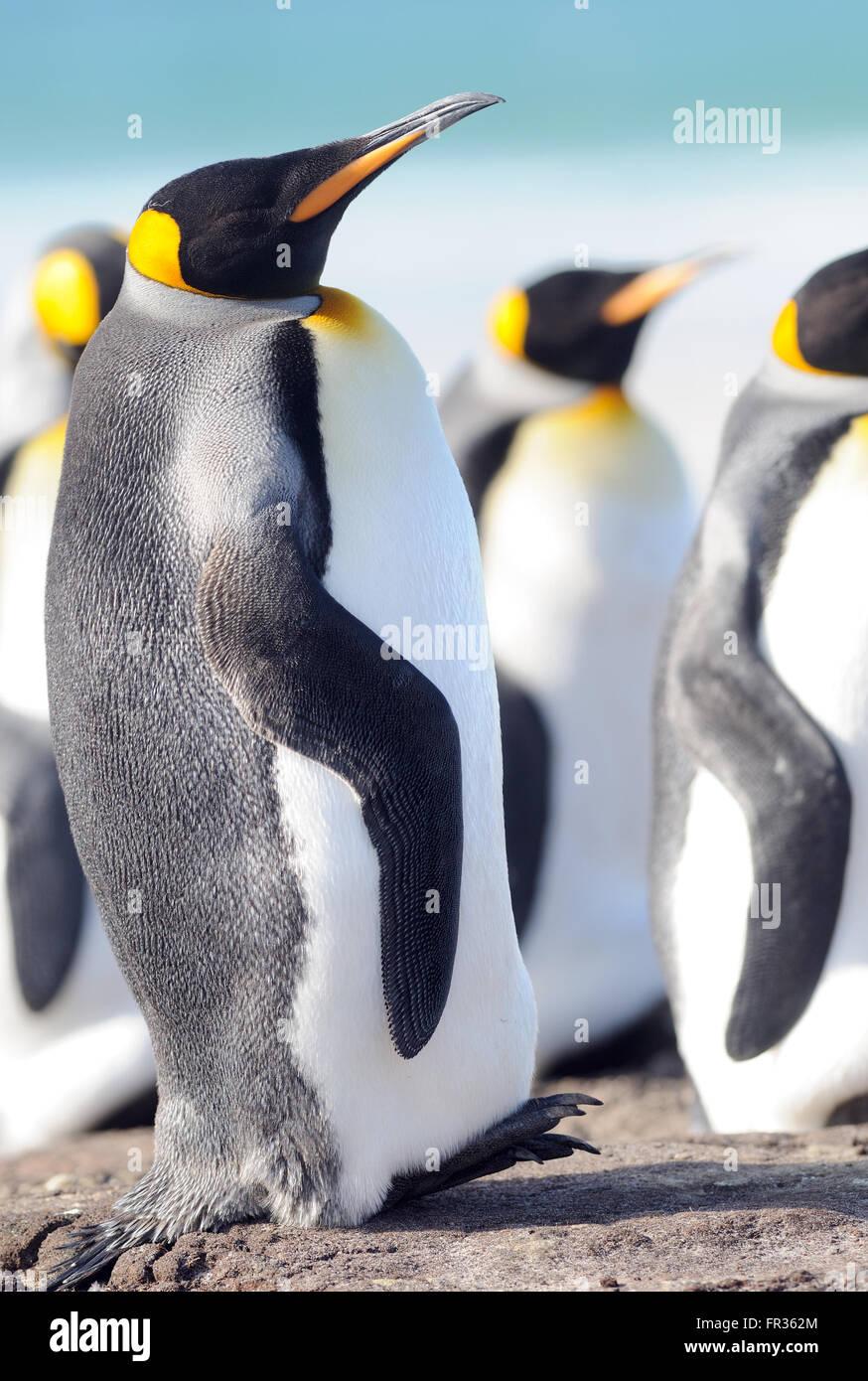 Un manchot royal (Aptenodytes patagonicus) se penche en arrière sur sa queue raide, courte. L'Île Saunders, îles Falkland. Banque D'Images