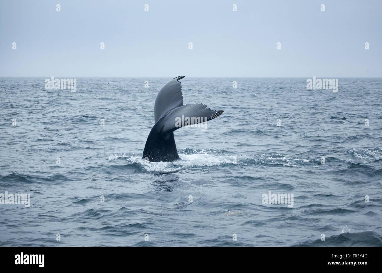Humpback Whale tail océan baie des baleines de la mer de la faune marine mammal observation de la nature de Photo Stock