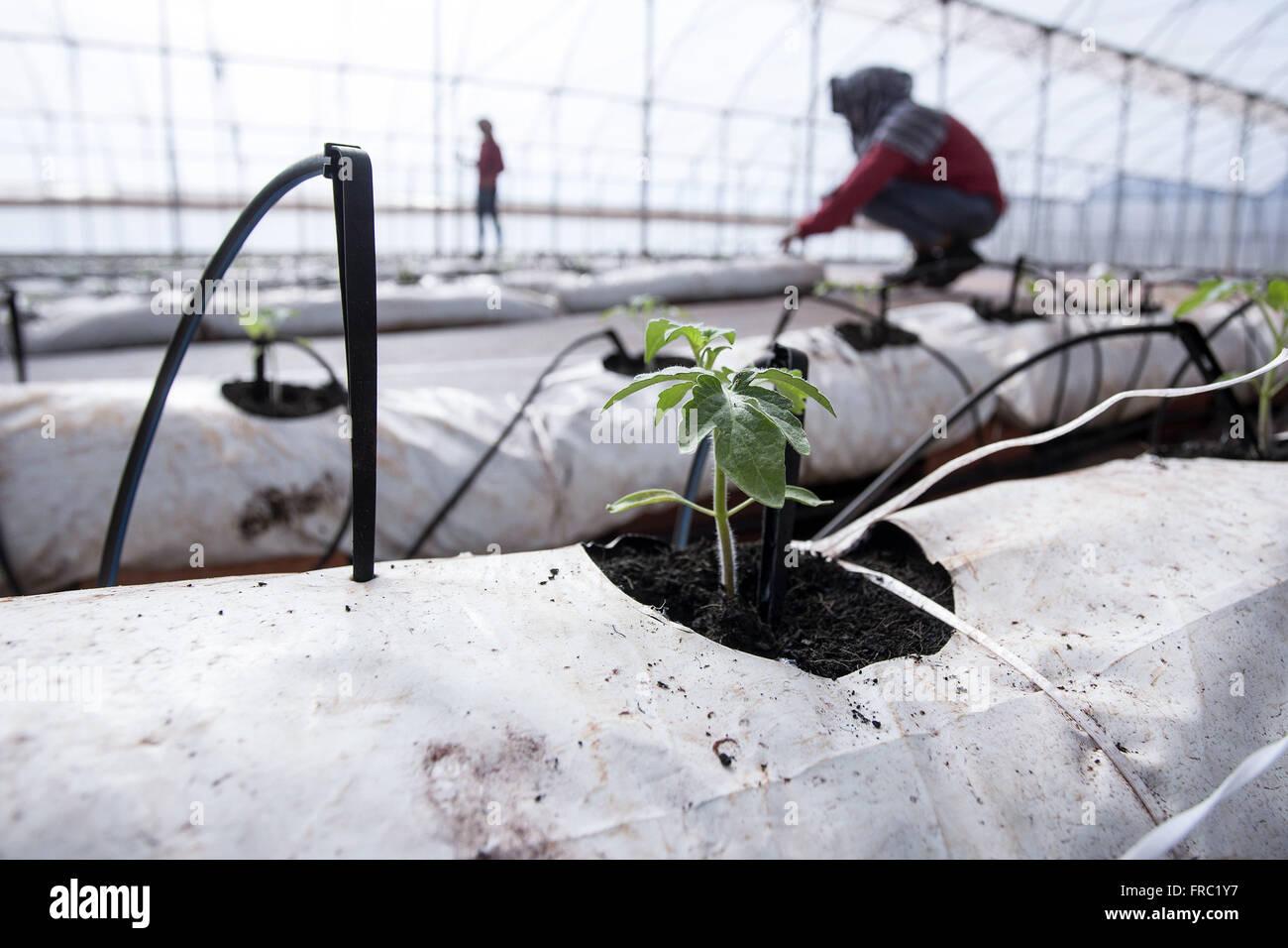 Les semis de tomates biologiques dans les émissions de haute technologie à la campagne Photo Stock