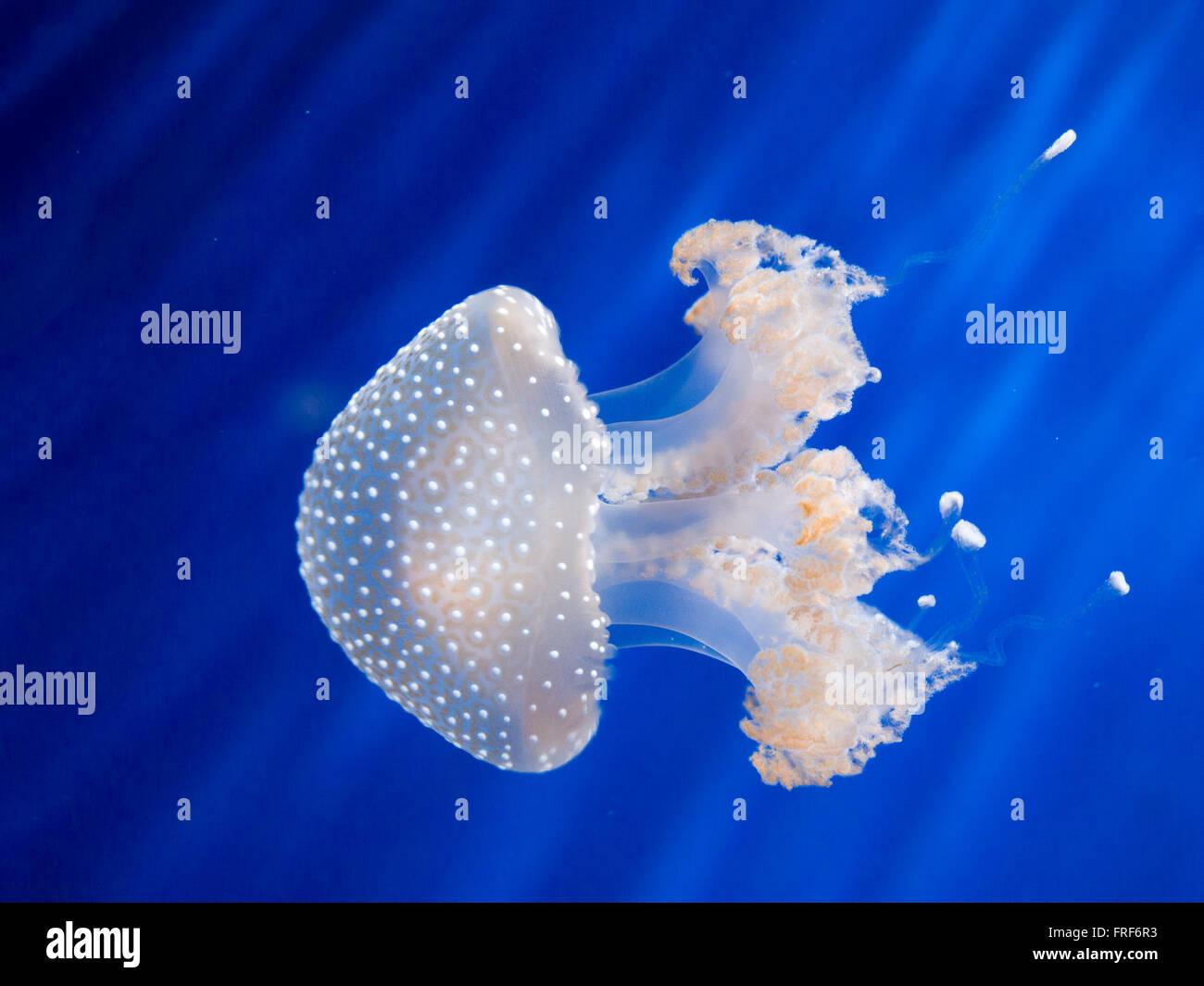 Livre blanc australien repéré (Phyllorhiza punctata ) méduses nager dans l'eau bleue Photo Stock