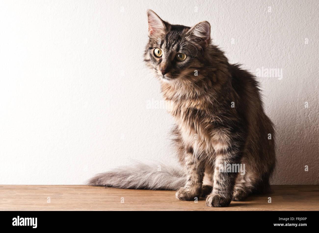 Chat tigré domestique Photo Stock