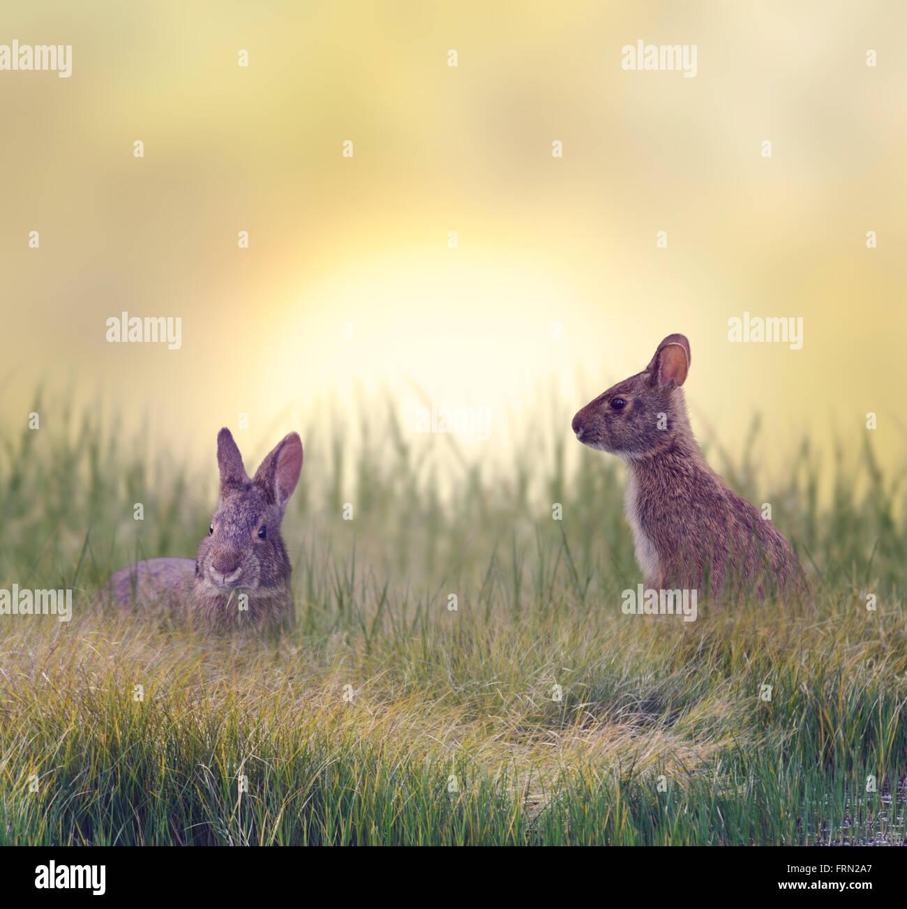 Les Lapins de manger de l'herbe verte du marais Banque D'Images