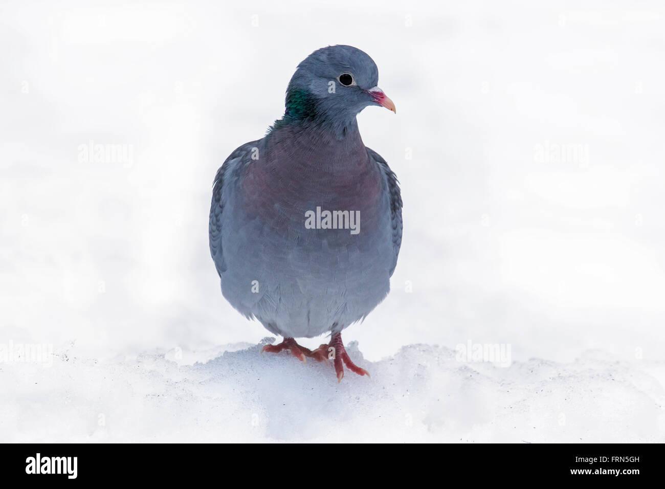 Pigeon colombin (Columba oenas) dans la neige en hiver Photo Stock