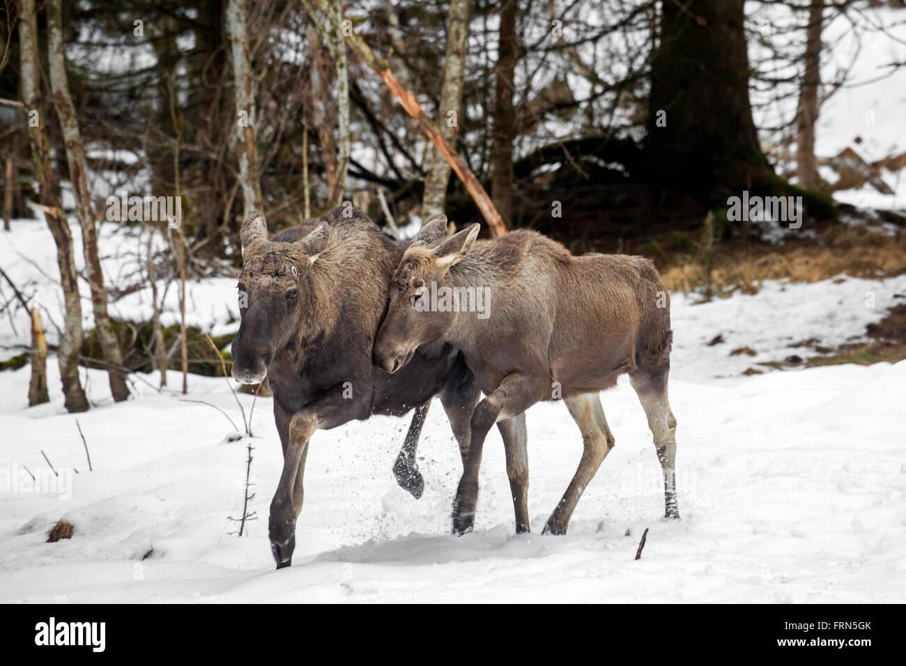Elk / orignal (Alces alces) bull et son veau en forêt dans la neige en hiver Banque D'Images