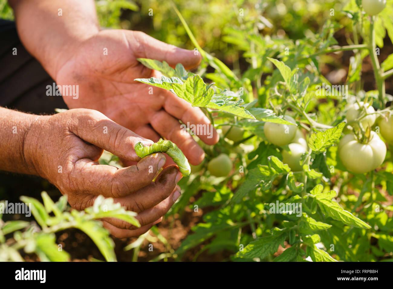 L'agriculture et cultures d'Amérique latine. Middle aged hispanic farmer dans un champ de tomates, montrant un bug Banque D'Images