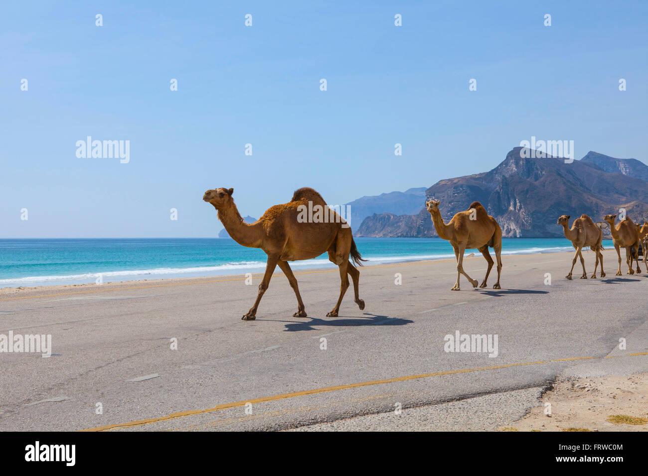 Chameaux sur la route près de Al Mughsayl. Banque D'Images