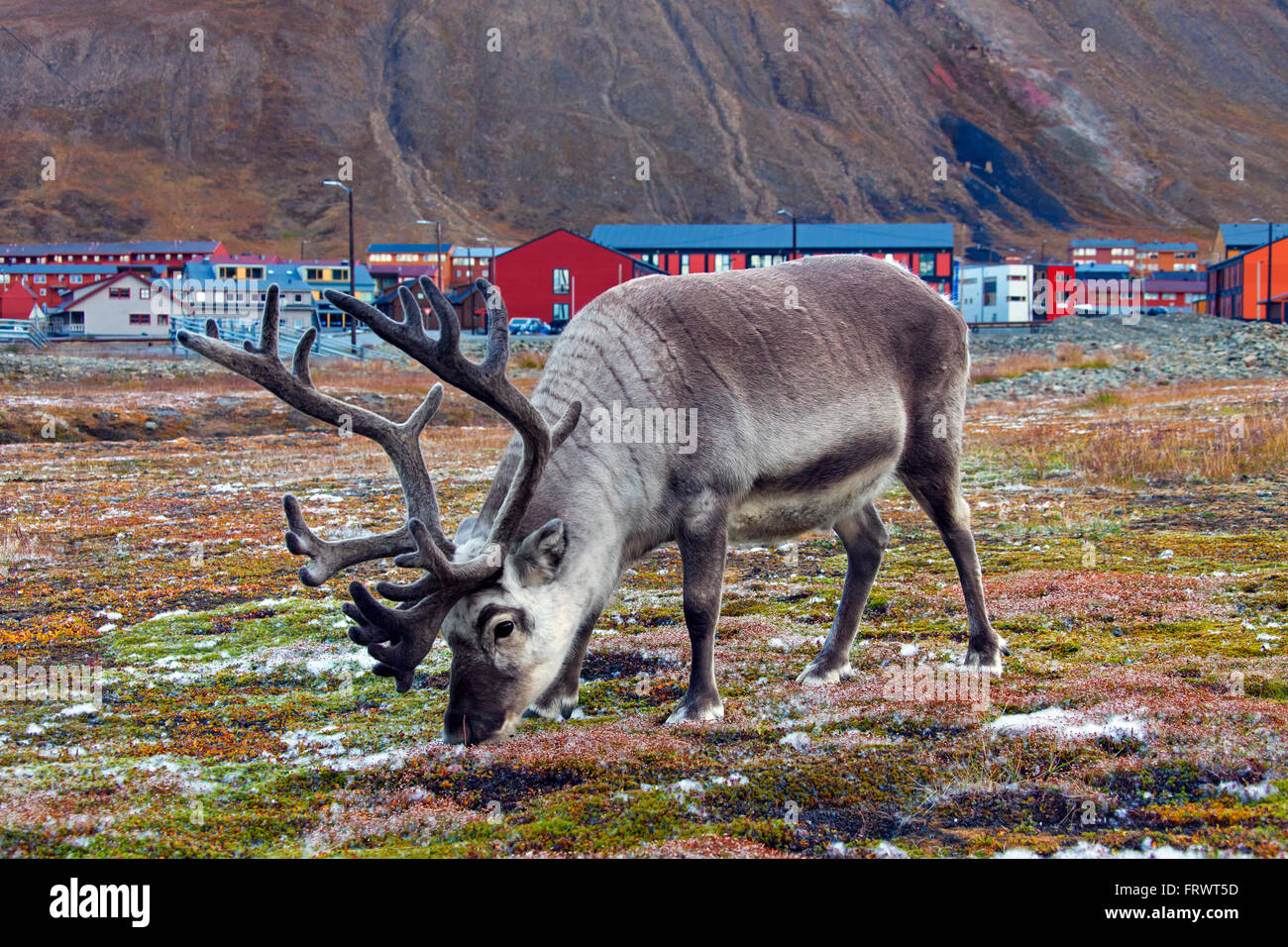 Renne du Svalbard (Rangifer tarandus platyrhynchus) pâturage bull à Longyearbyen Svalbard, Norvège Spitzberg / Banque D'Images