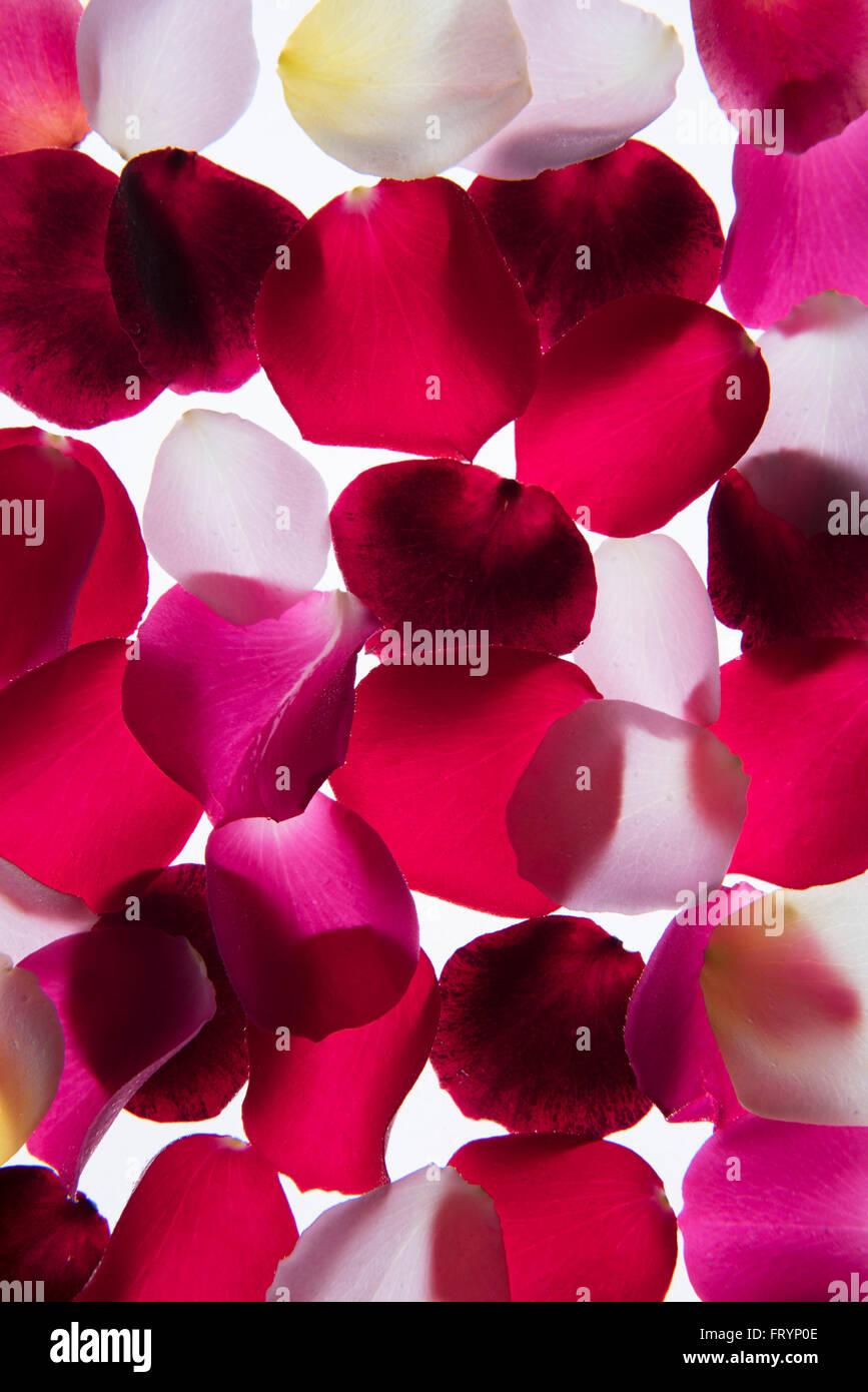 Pétales de fleurs lumineux photographié sur une boîte à lumière Photo Stock