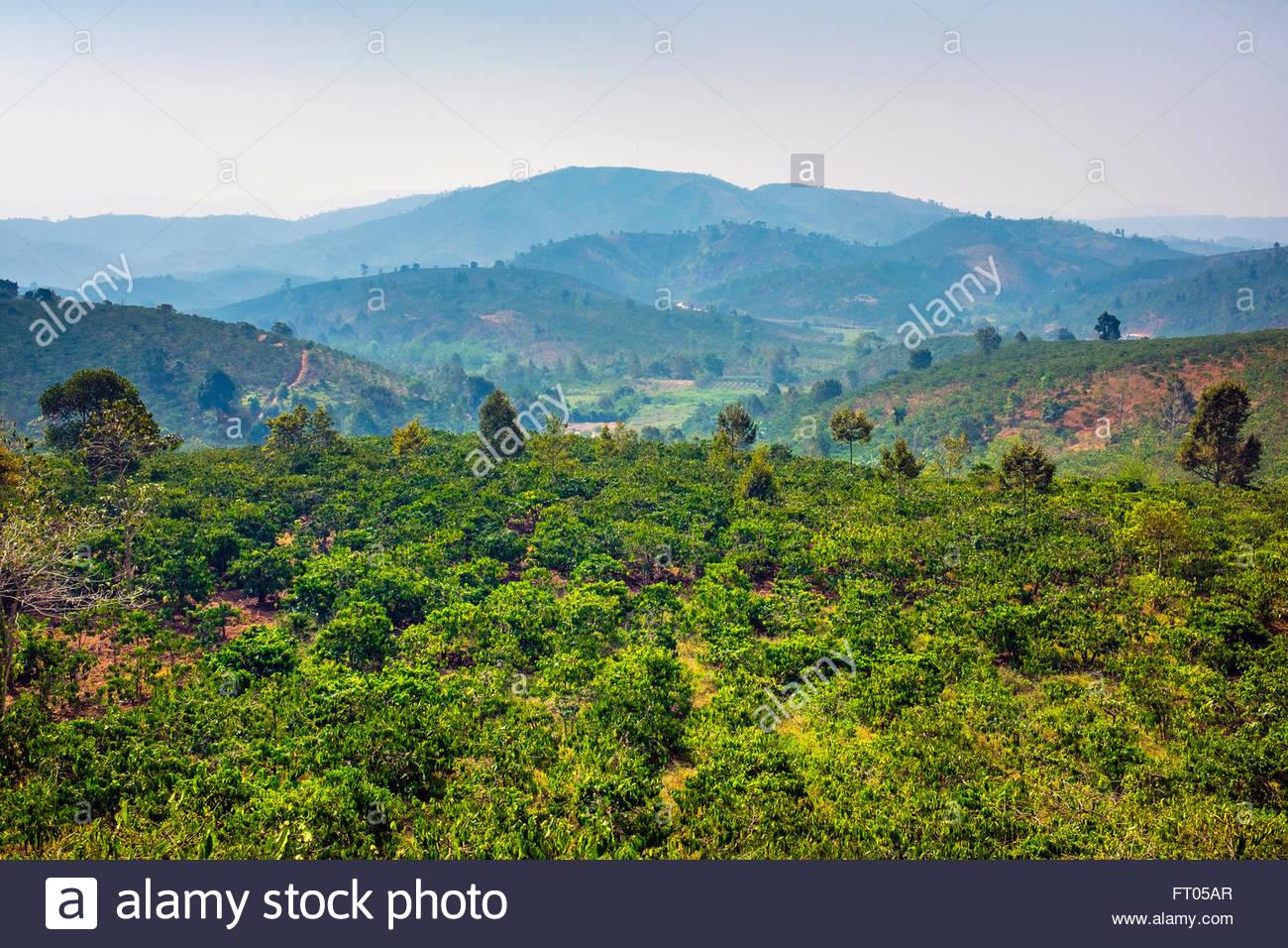 Collines et plantations de café dans la région centrale des Highlands, Bao Loc, province de Lam Dong, Photo Stock
