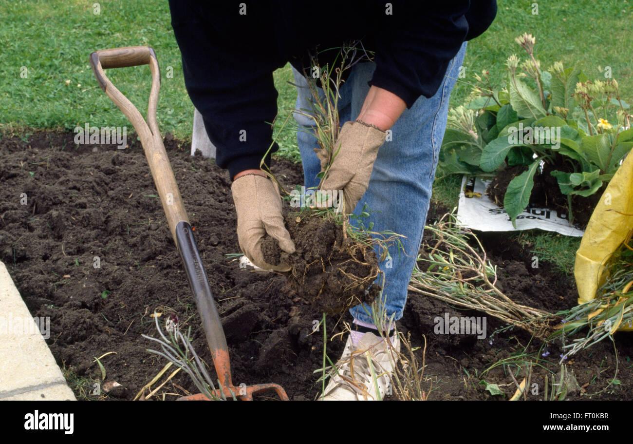 Close-up d'un fractionnement du jardinier plantes vivaces Photo Stock