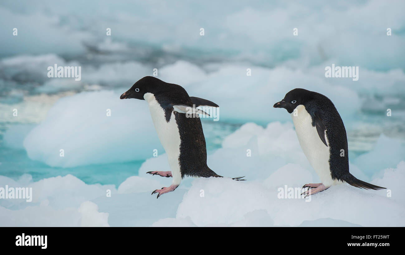 Adelie Penguin sur un iceberg Photo Stock