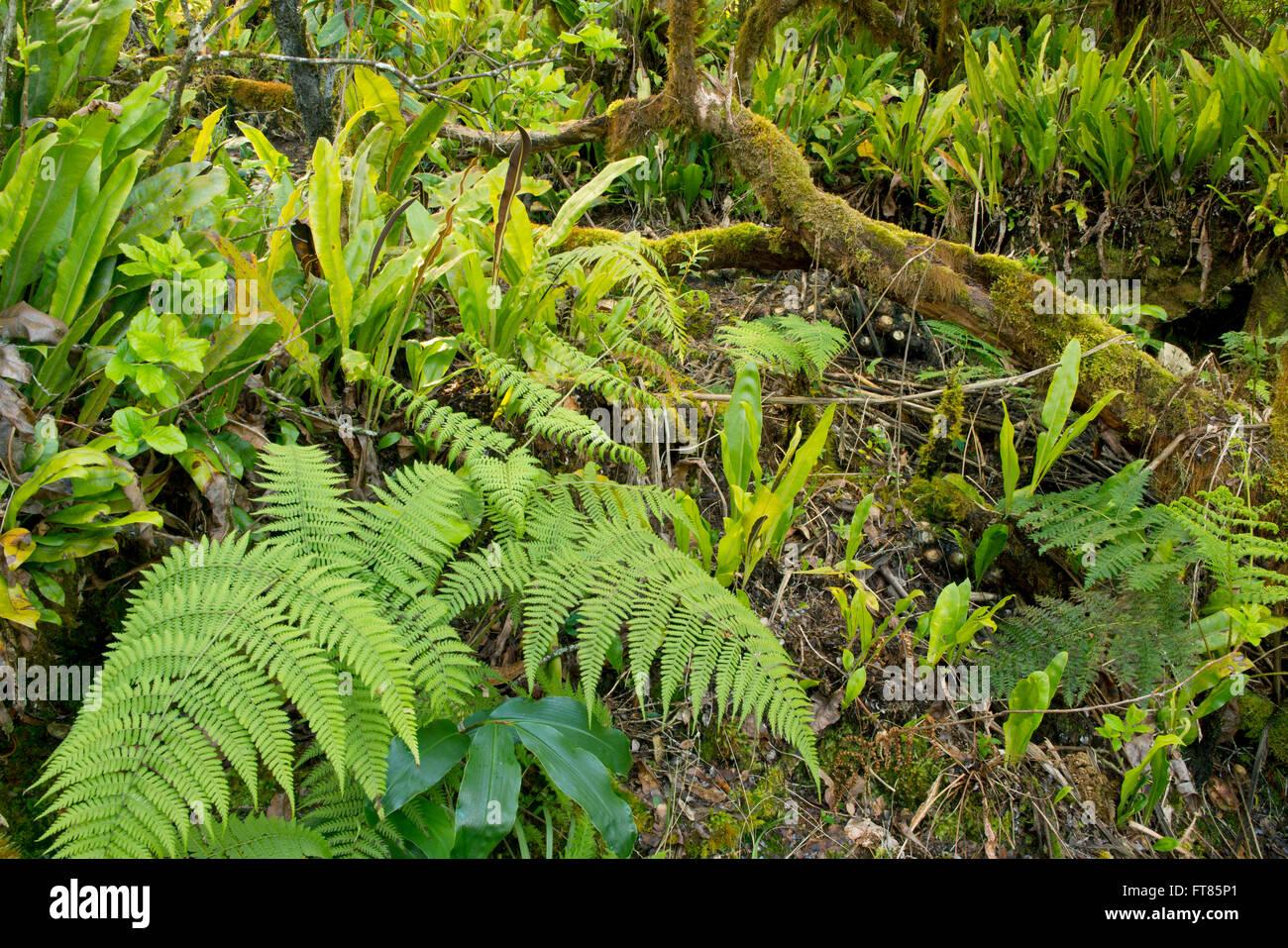 Forêt de montagne moussus de Alaka'i Swamp, maison à certains des oiseaux endémiques dernier Hawaiian, Kauai, Hawaii Banque D'Images
