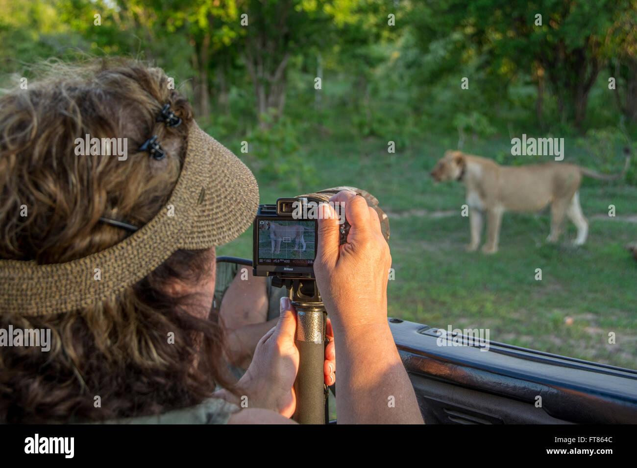 L'Afrique, la Zambie, le parc national de South Luangwa, Mfuwe. Jeep Safari avec le photographe regardant lionne Photo Stock