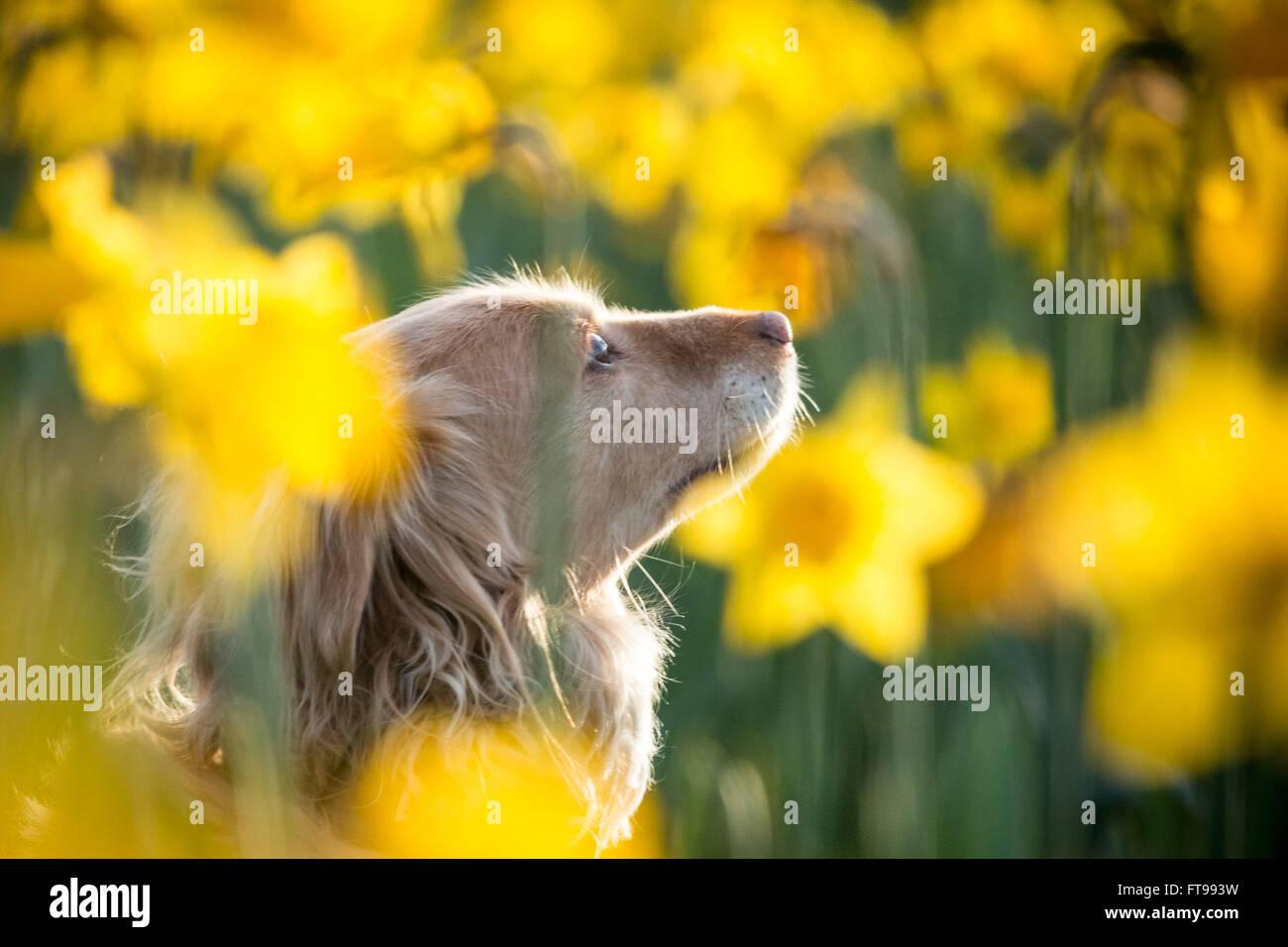 Londres, Royaume-Uni. 25 mars, 2016. Météo France: la jonquille de printemps des fleurs dans le Photo Stock