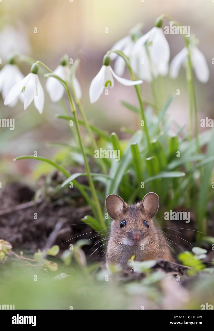 Souris domestique (Mus musculus) peeking out de son trou, Hesse, Allemagne Photo Stock