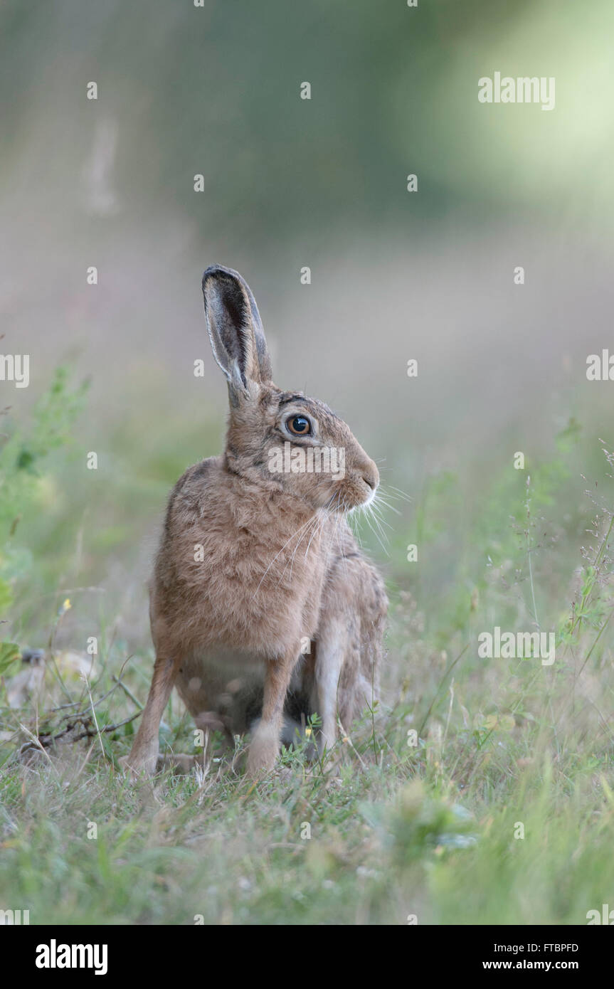 Lièvre brun (Lepus europaeus) Photo Stock