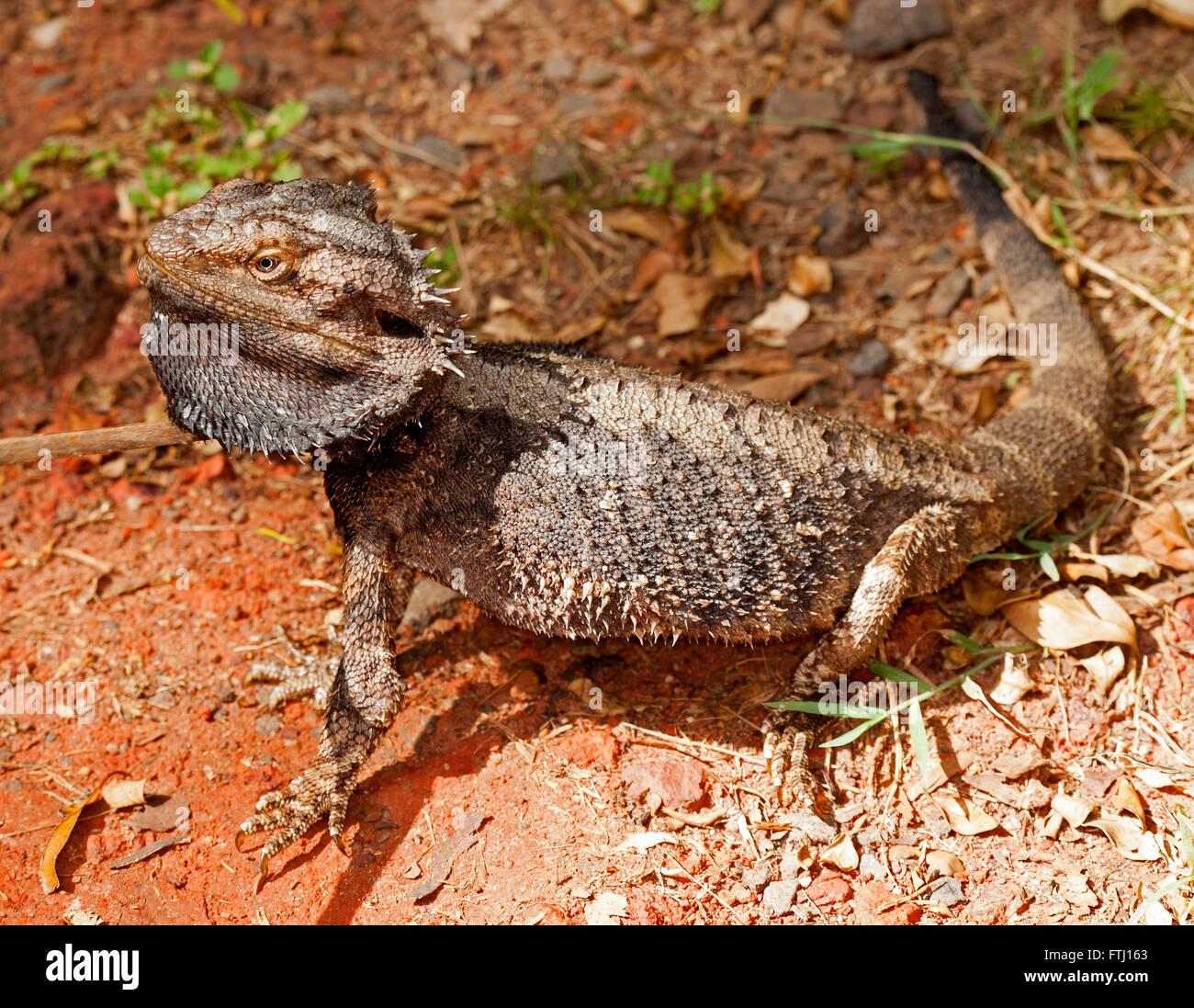 Lézard dragon barbu d'Australie, Pogona barbata avec barbe épineuse gris et le corps étendu en Photo Stock