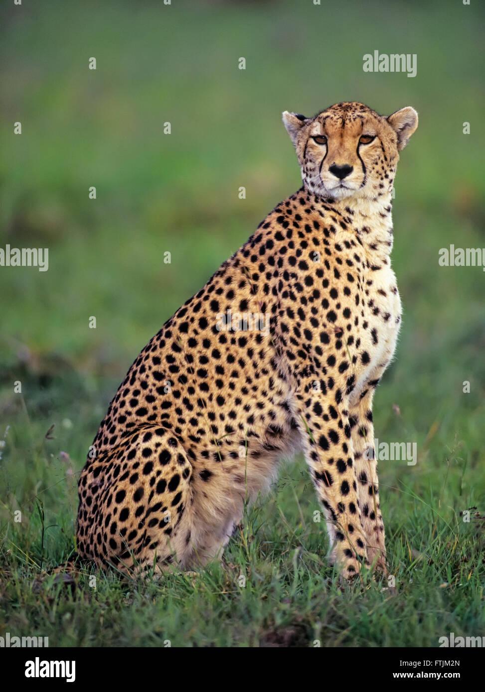 Cheetah au coucher du soleil Banque D'Images