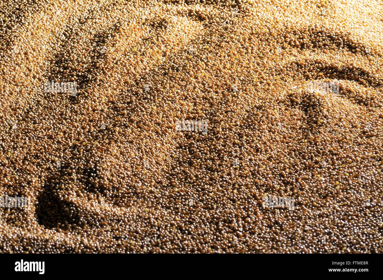 Détail des grains de mil Photo Stock