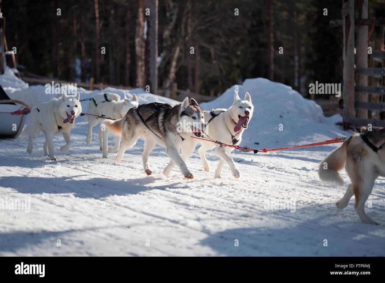 Passez du temps à l'extérieur des Huskies en Laponie, Finlande Banque D'Images