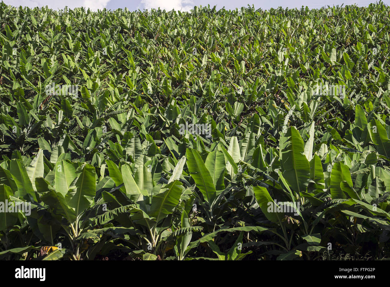 Plantation de bananes en milieu rural Photo Stock