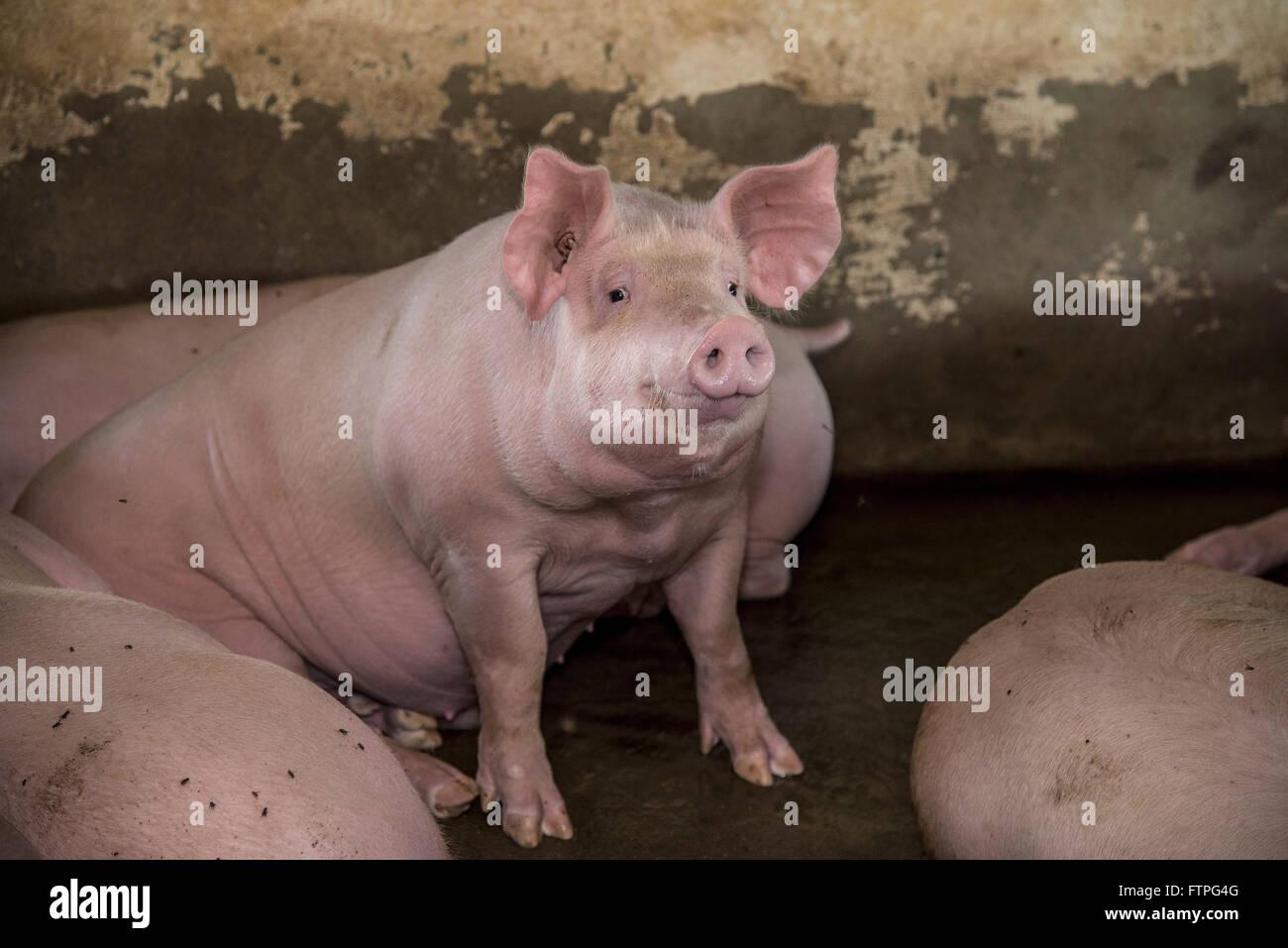 Création de porcs en zone rurale Photo Stock