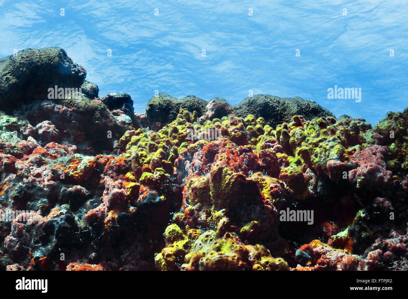 Photos sous-marines sur la côte brésilienne - coral reef à Fernando de Noronha Photo Stock