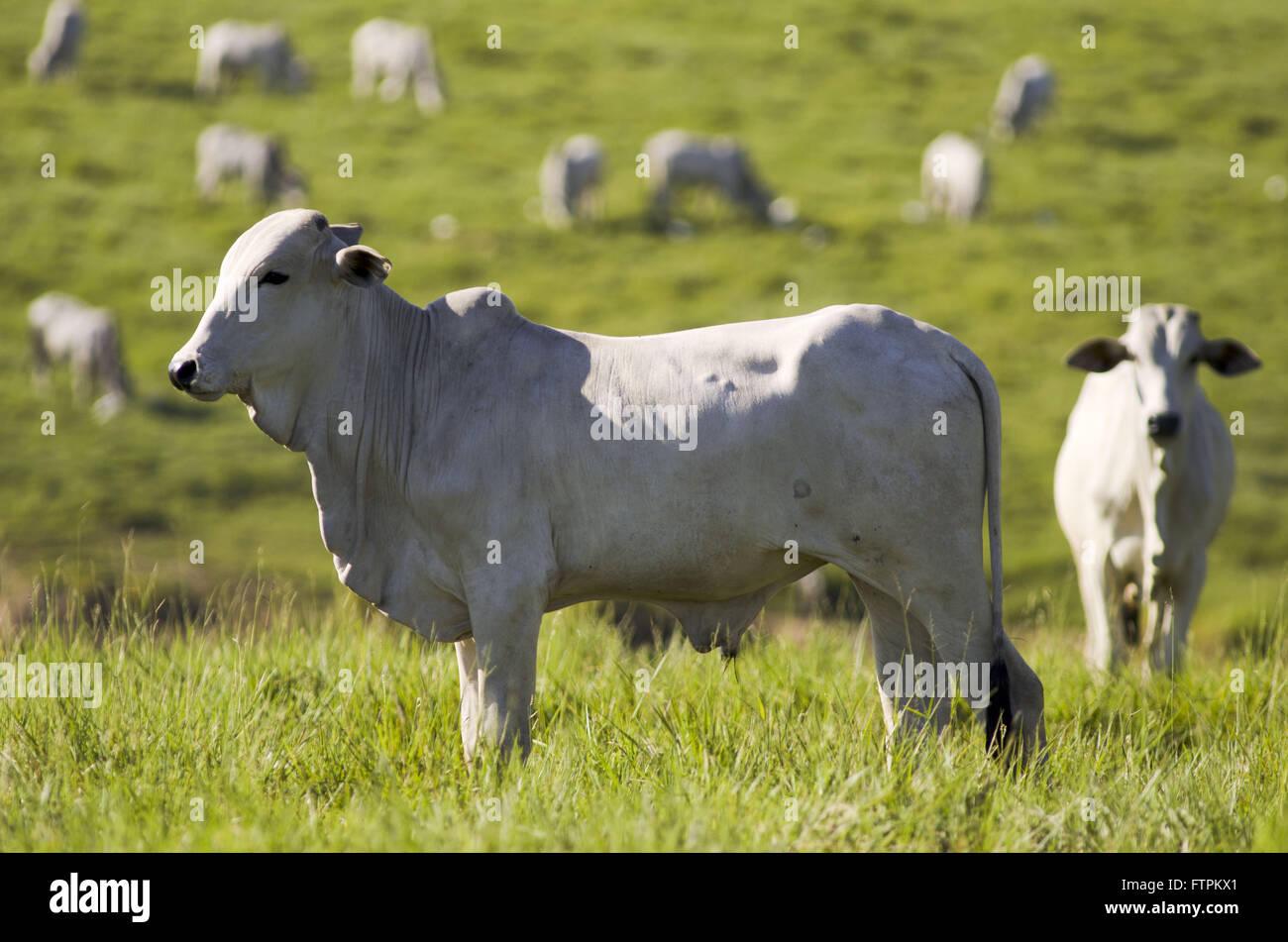 Le pâturage du bétail dans la zone déboisée en Amazonie - Acre Photo Stock