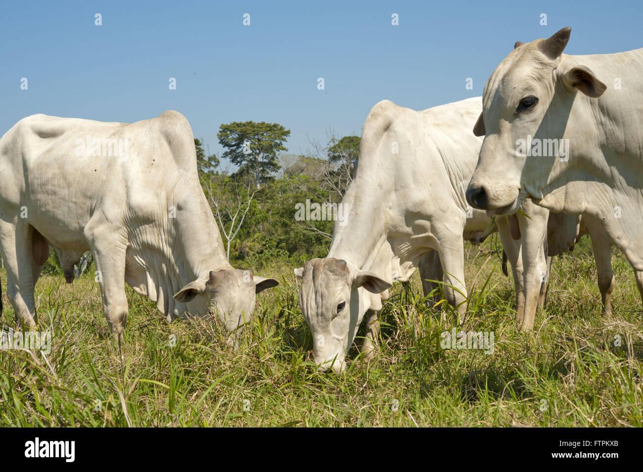 Création de bovins dans la zone déboisée amazon - Acre Photo Stock