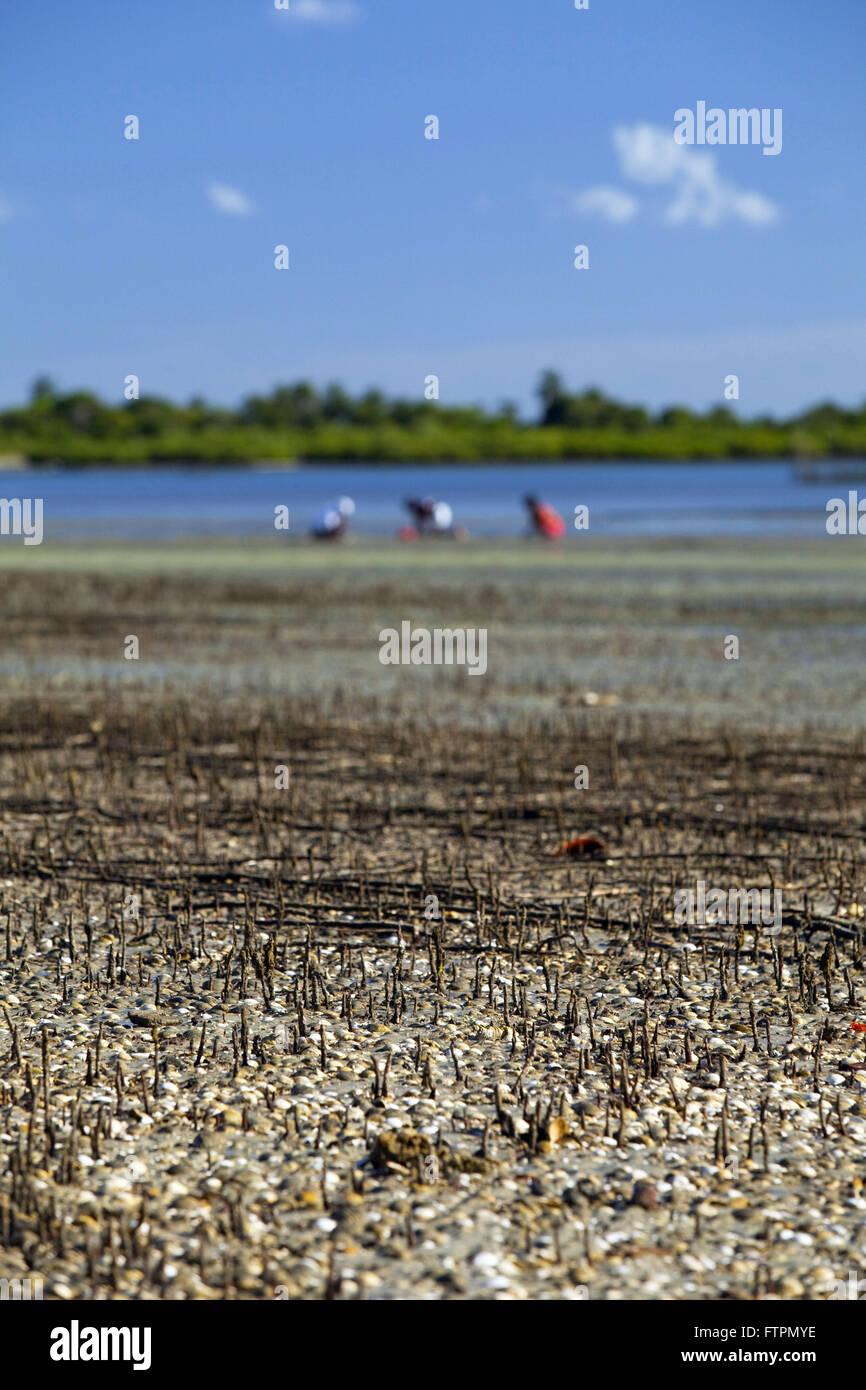 Pickers mollusque appelé BB hotel modelo - Anomlocardia - Reconcavo Baiano Photo Stock