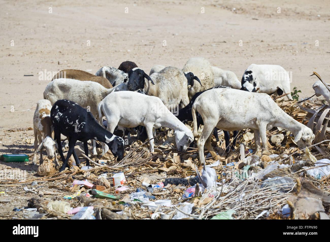Les chèvres se nourrissent dans la corbeille en raison de l'absence d'herbe sèche de la savane Photo Stock