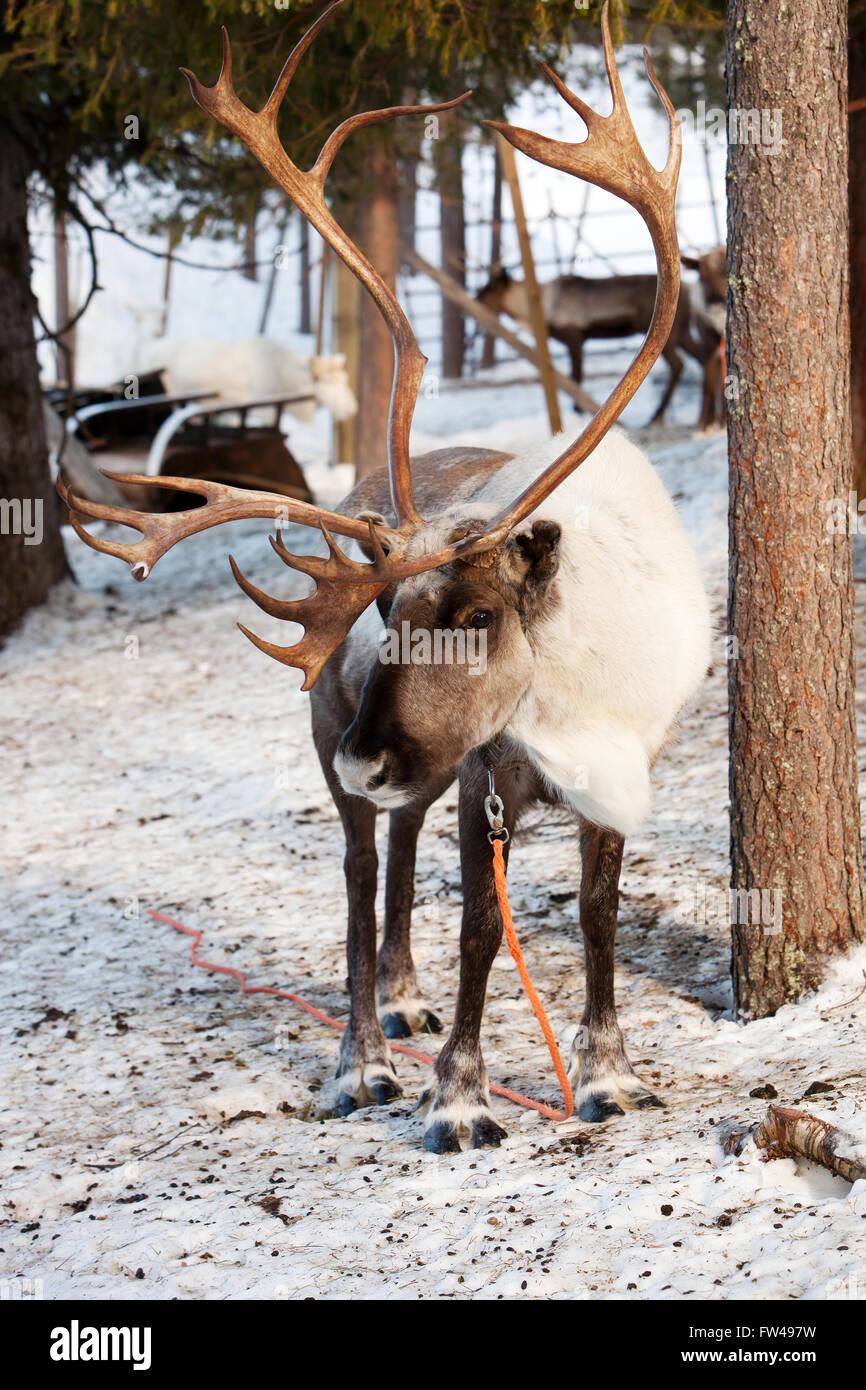 Le renne avec de grands bois en Laponie finlandaise Banque D'Images