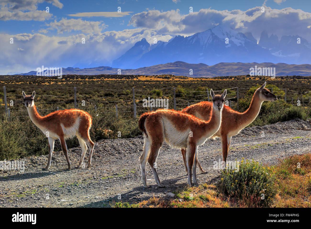 Guanacos dans le Parc National Torres del Paine, Chili Banque D'Images