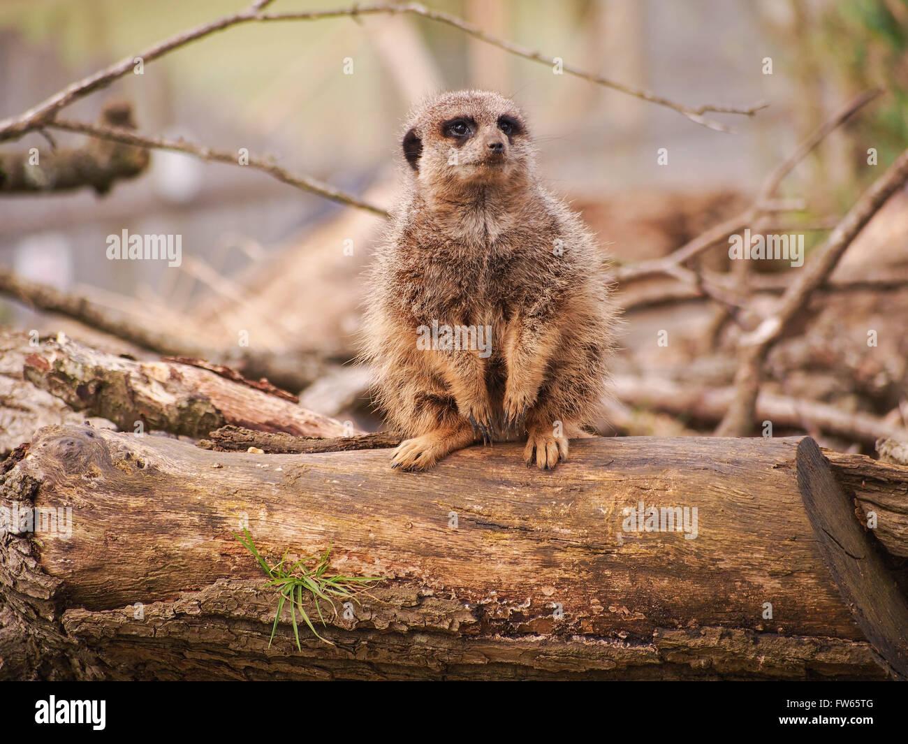 Un Meerkat (Suricata suricatta) en état d'alerte s'est assis sur un journal Photo Stock