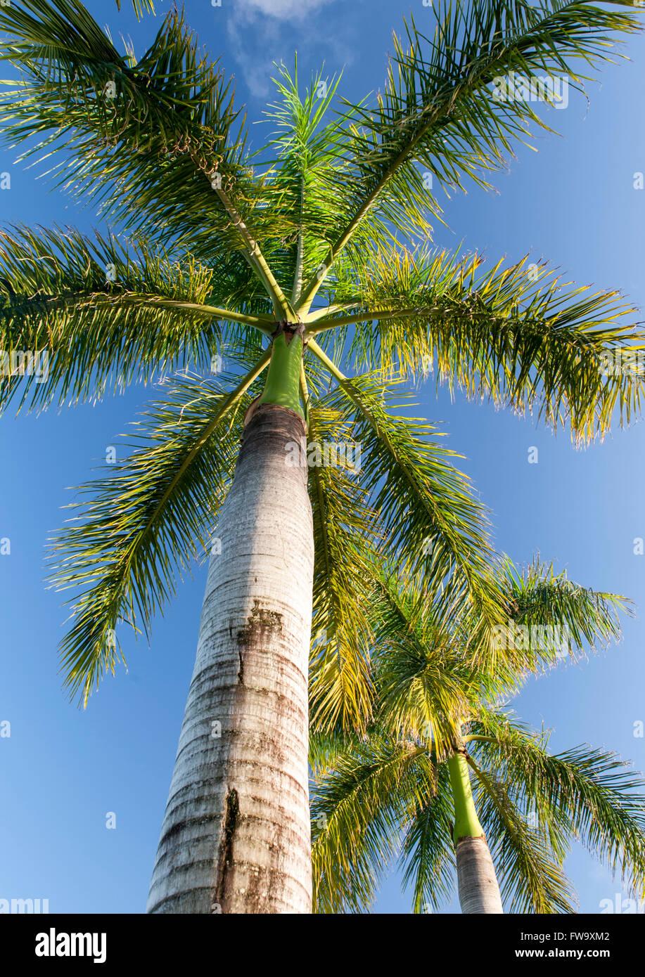 palmier de l'ile maurice