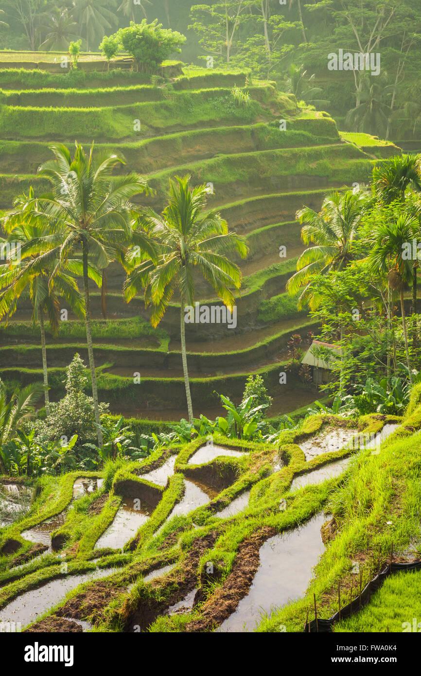 Belles terrasses de riz dans le moring lumière près de village de Tegallalang, Ubud, Bali, Indonésie. Photo Stock