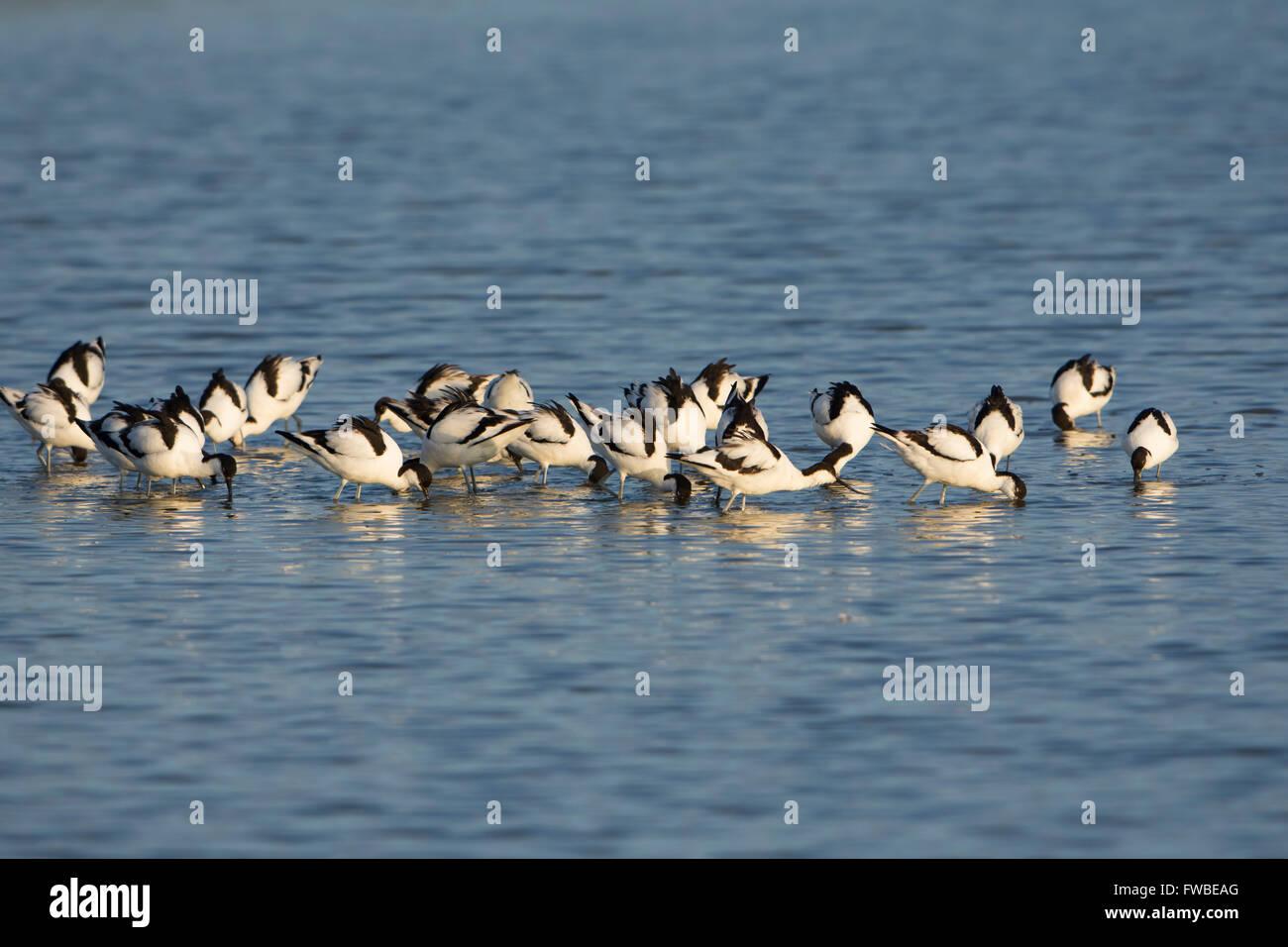 Un troupeau d'Avocette élégante (Recurvirostra avosetta) alimentation en eau peu profonde, bleu Minsmere, Photo Stock