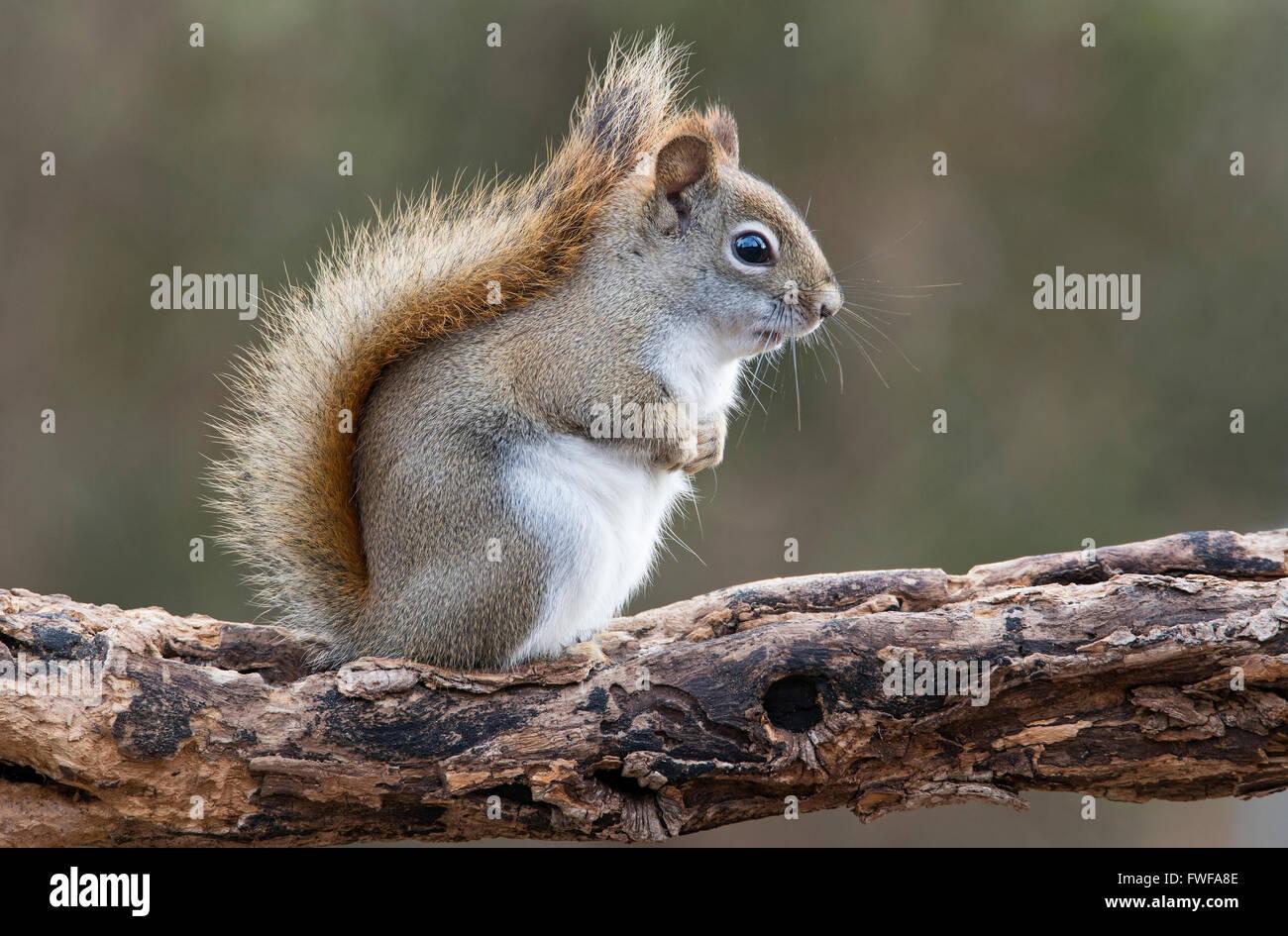 L'Est de l'Écureuil roux (Tamiasciurus des sons ou Sciurus hudsonicus) E Amérique du Nord Photo Stock