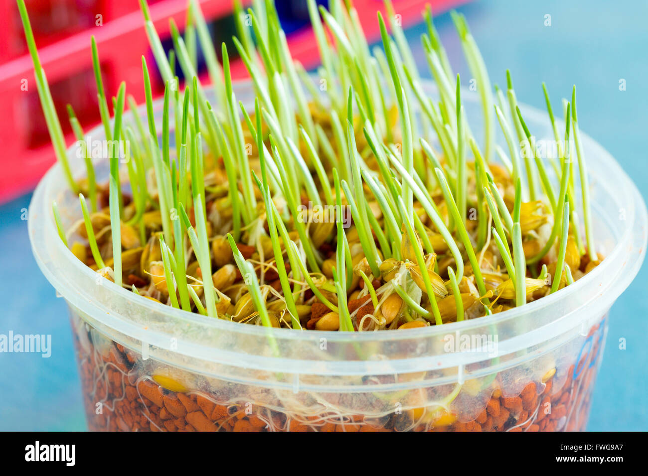 La culture du blé génétiquement modifié dans un récipient. Photo Stock