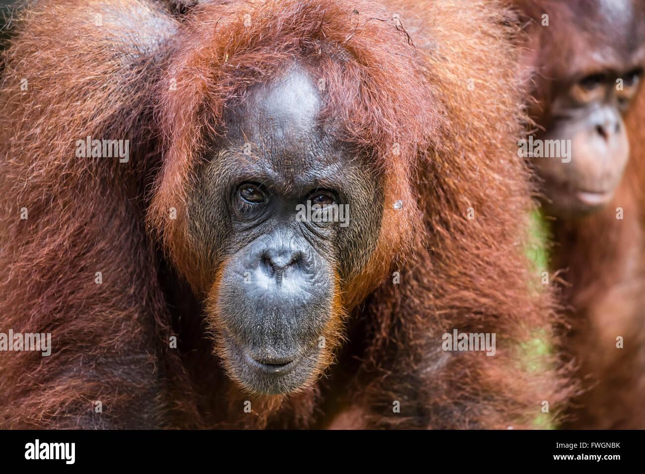 Mère et bébé orang-outan (Pongo pygmaeus), Centre de réadaptation de Semenggoh, Sarawak, Bornéo, Malaisie, Asie Banque D'Images