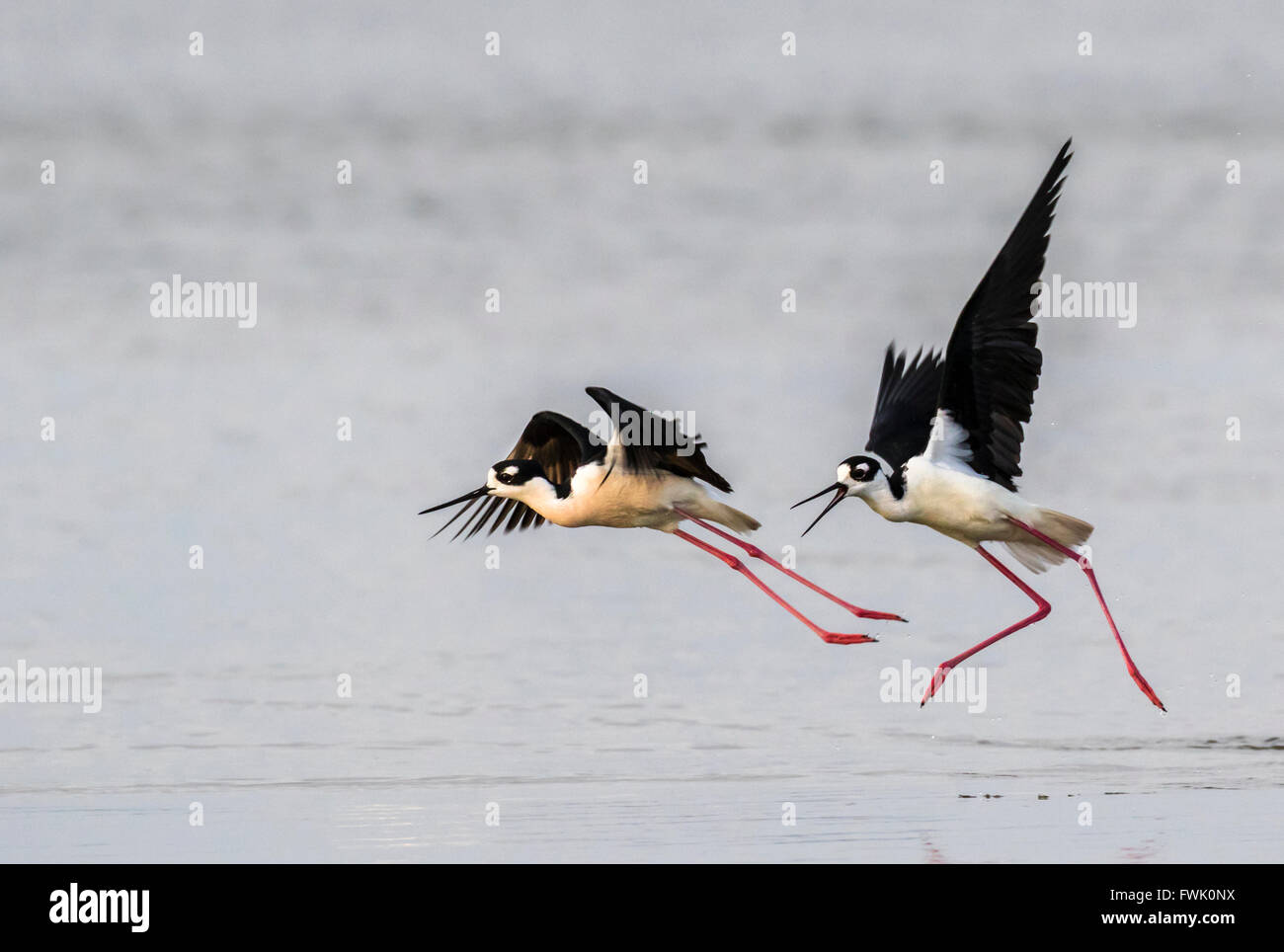 'Échasses d'Amérique (Himantopus mexicanus) la chasse et la lutte, Galveston, Texas, États-Unis. Banque D'Images