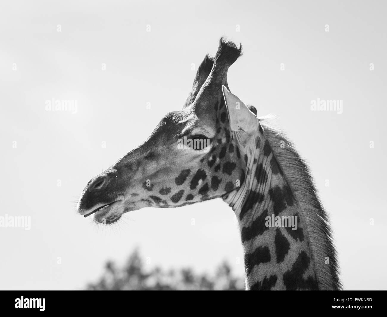Image en noir et blanc de la tête de Girafe (Giraffa camelopardalis) contre le ciel en Parc National d'Arusha, Photo Stock